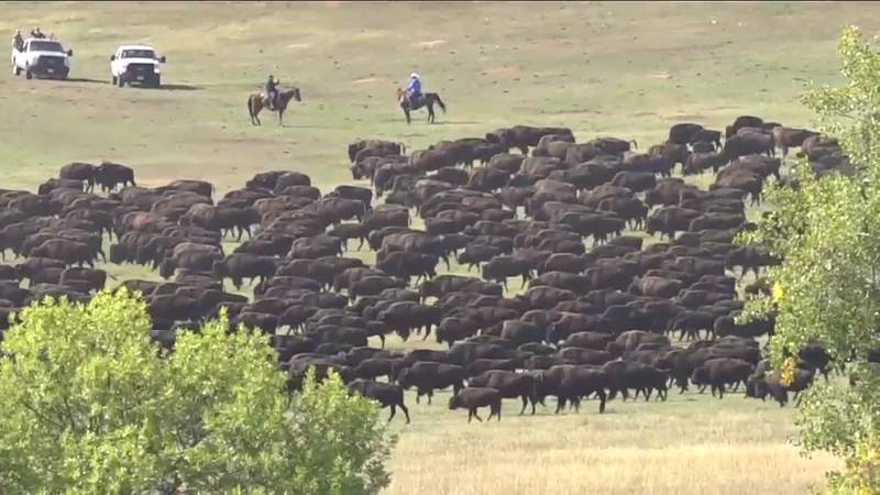 Senator Rounds introduces 'Indian Buffalo Management Act' to help tribes bring bison herds back