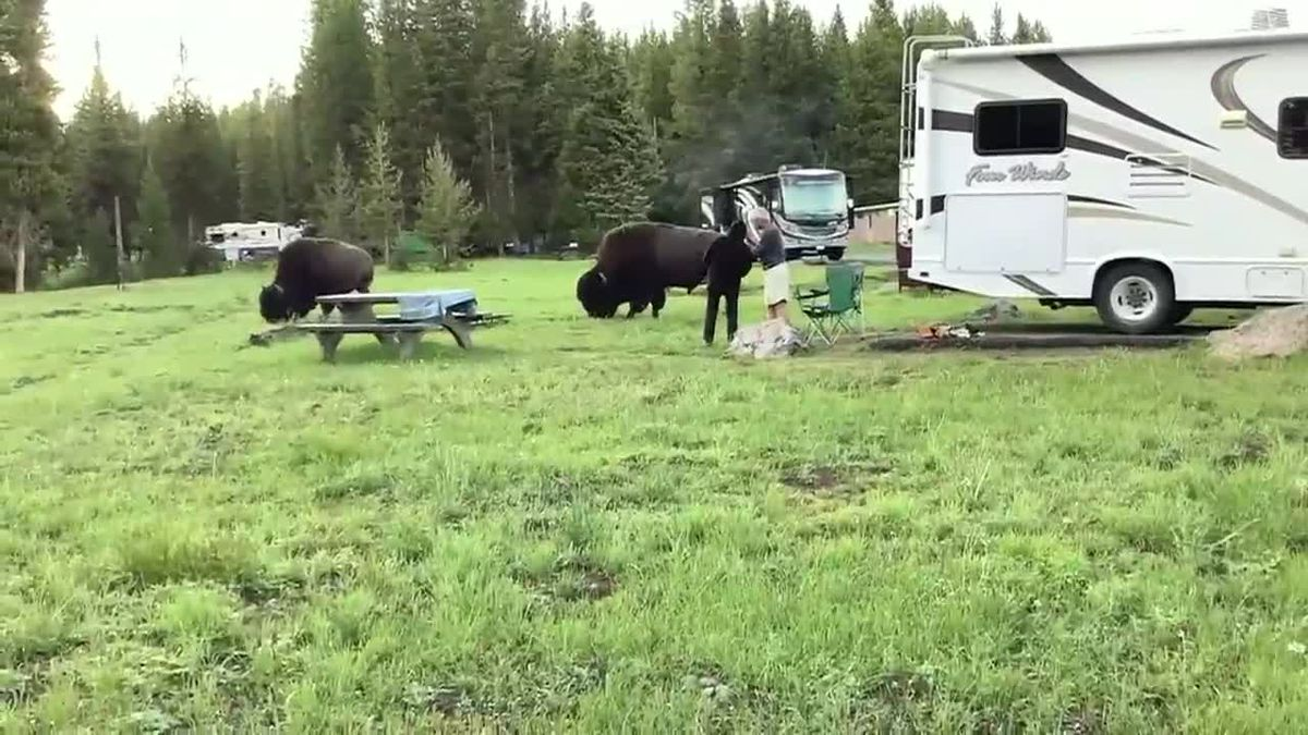 Family witnesses bison charge at woman in Yellowstone National Park.