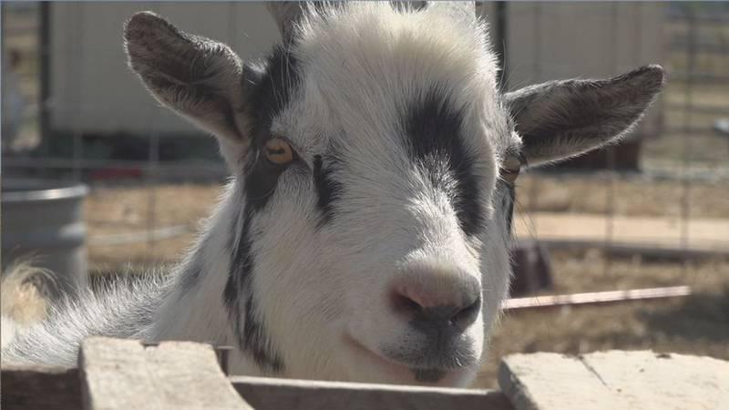 A goat at The Charm Farm in Box Elder.