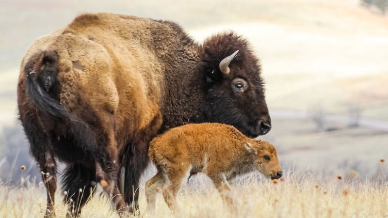 Wednesday morning, the park announced the birth of the new bison calf. The calf is around 40 lbs.
