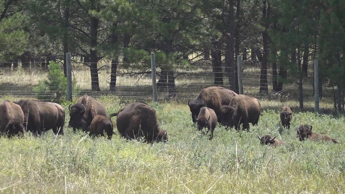 Safety precautions to take when encountering a herd of bison