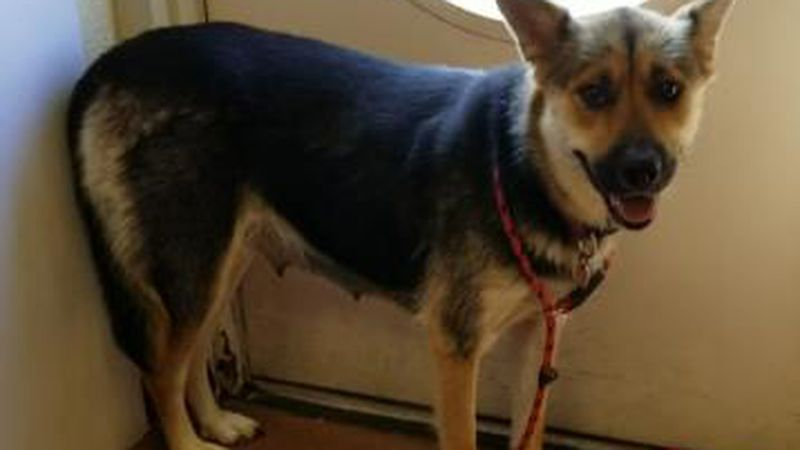 Bella - German Shepherd Pet of the Week