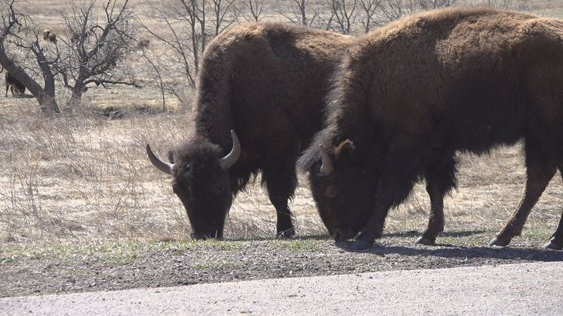 The first two bison calves were born this week at Custer State Park.