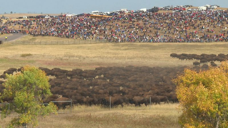 A massive crowd looks on as the main buffalo herd rushes across the northern portion of the...