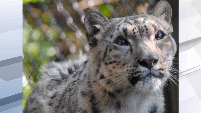 The zoo says Baya began exhibiting a cough and lethargy over the earlier this month.