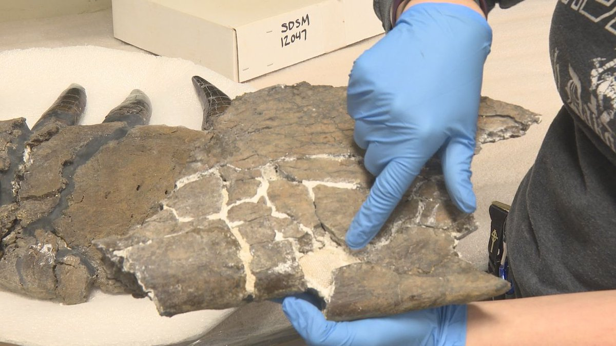 A Tyrannosaurus rex skull discovered in the early 1980s near Mud Butte, SD. This is the sixth...
