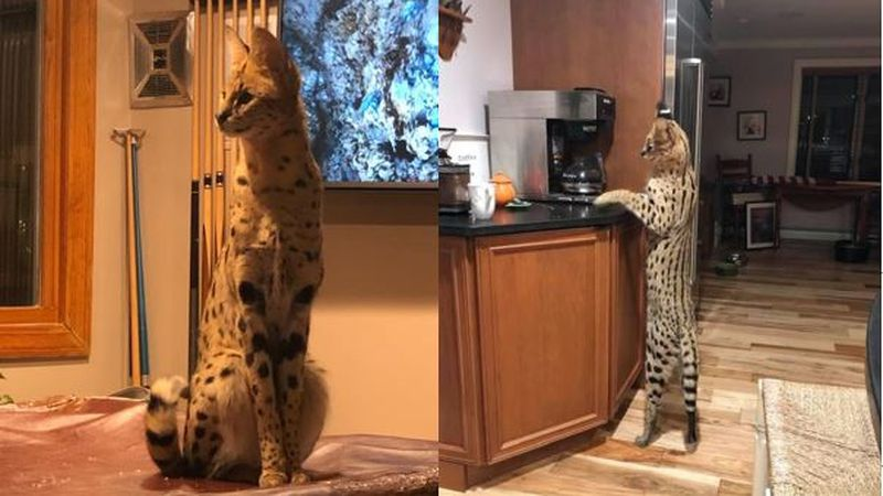 Servals are native to Africa. Adults can measure up to 40 inches long and weigh more than 30...